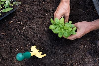 Close up photo of mans hands planting basil in soil