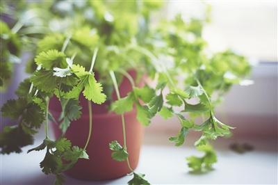 Fresh green Coriander by the window in bright light