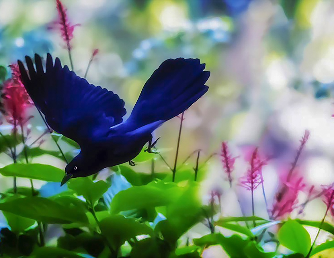Grackle Flying Through Red Salvia by Robert Flatt